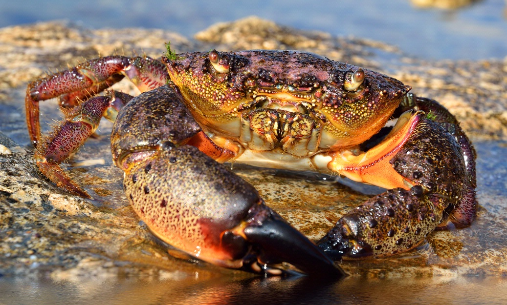 Crab lurking in shallow water