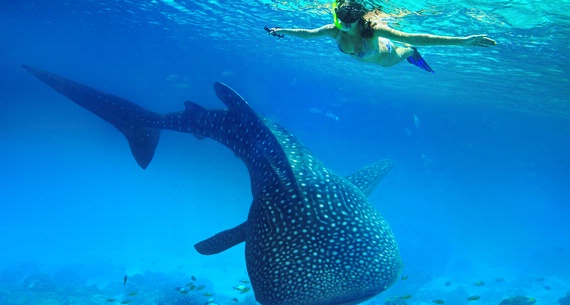 Woman snorkeling observing a whale shark